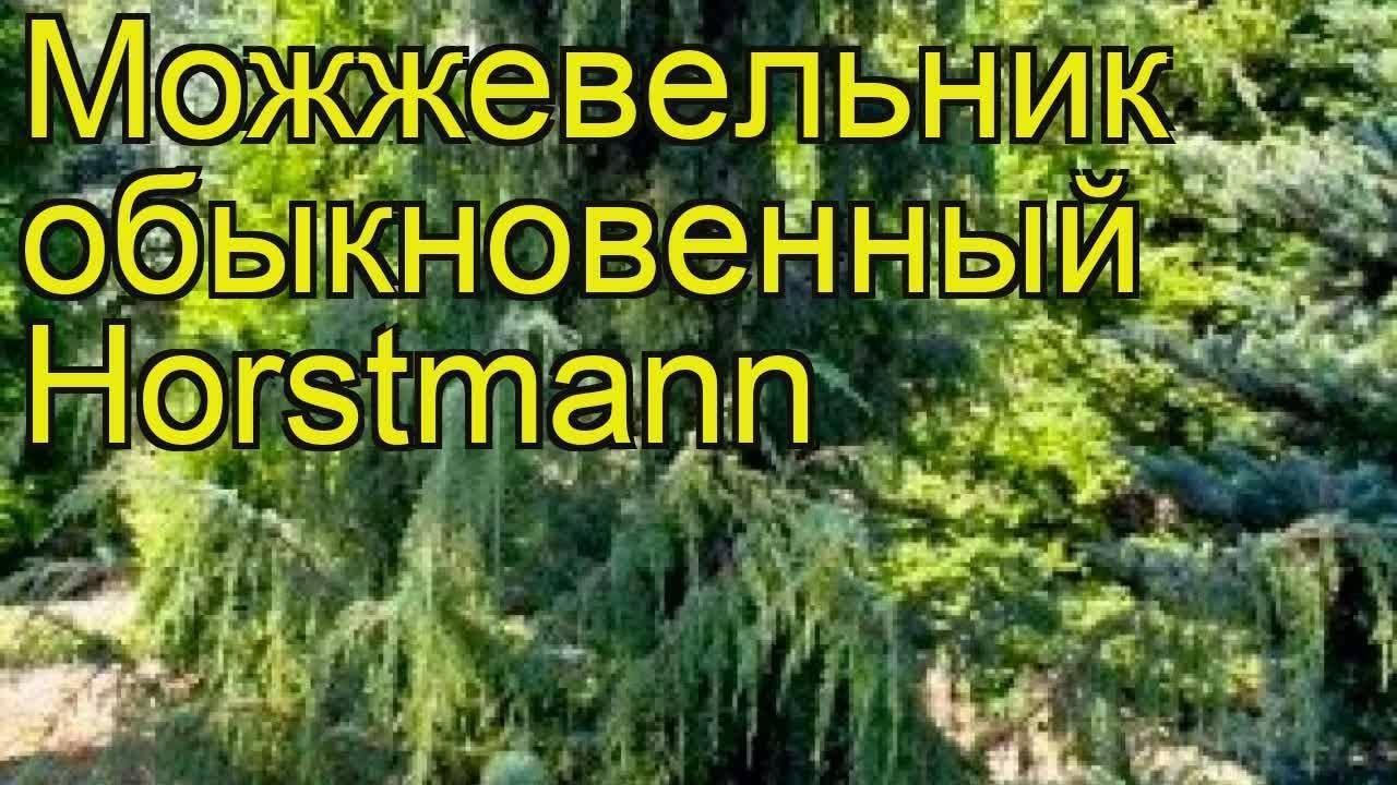 Можжевельник обыкновенный «хорстманн»: описание, посадка и уход