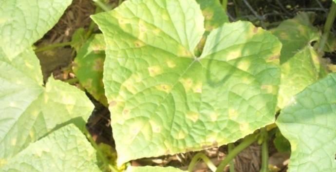 Огурцы желтеют: что делать, почему желтеют листья в теплице и в открытом грунте