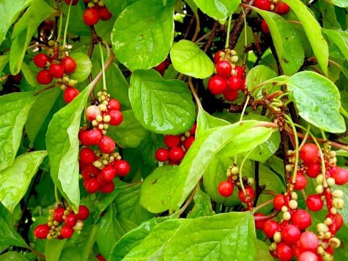 Лимонник - фото, лечебные свойства и противопоказания, посадка и уход, выращивание из семян