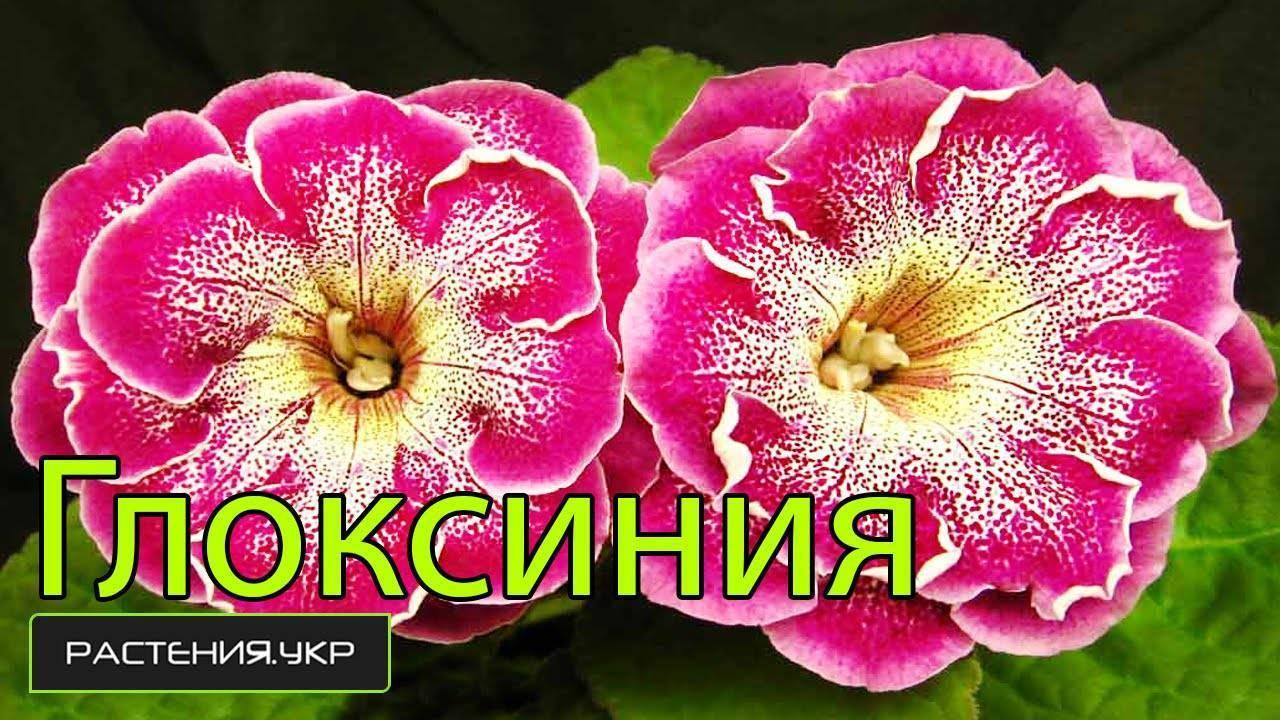Глоксиния: уход в домашних условиях, создание микроклимата для пышного цветения