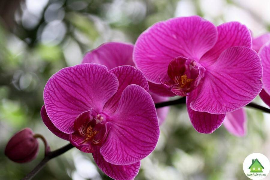 Орхидея фаленопсис: пересадка, размножение и описание цветка (115 фото)