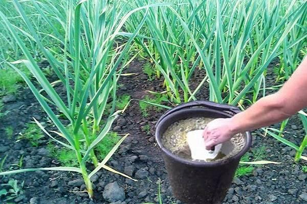 Как, когда и чем подкормить чеснок после зимы — советы опытных огородников для получения богатого урожая