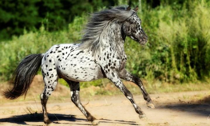 Лошадь породы аппалуза - фото и видео