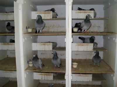 Гнёзда для голубей: как сделать в голубятне