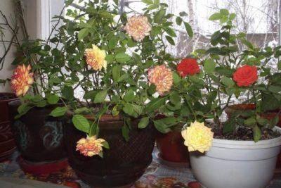 Как ухаживать за комнатной розой selo.guru — интернет портал о сельском хозяйстве