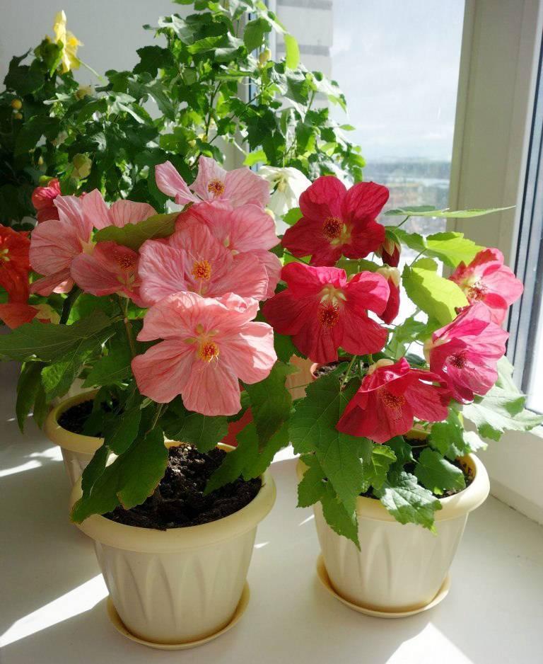 Абутилон- уход в домашних условиях, выращивание из семян и черенков