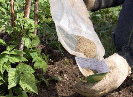 Подкормка малины: весной, во время цветения и плодоношения, осенью