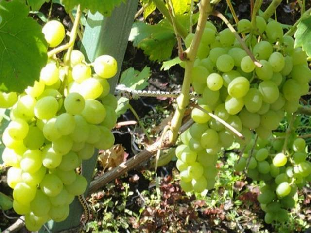 Виноград элегант — нетребовательный сорт