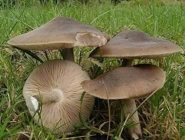 Гриб плютей (pluteus): где растет, виды, фото, калорийность