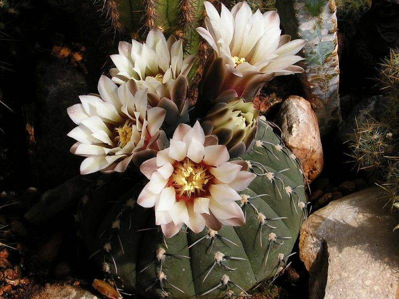 Размножение кактуса гимнокалициума и уход за ним в домашних условиях