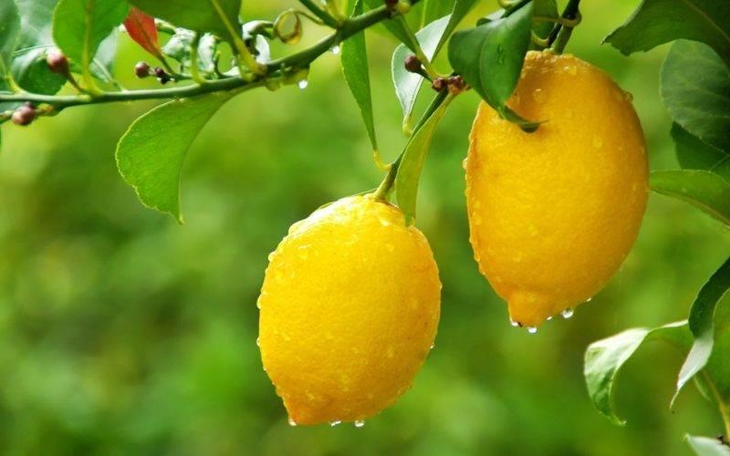 Что делать, если не цветет лимон?