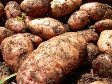 Характеристика сорта картофеля Лидер