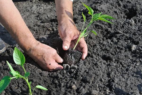 Выращивание крепкой рассады болгарского перца в домашних условиях - огород, сад, балкон - медиаплатформа миртесен
