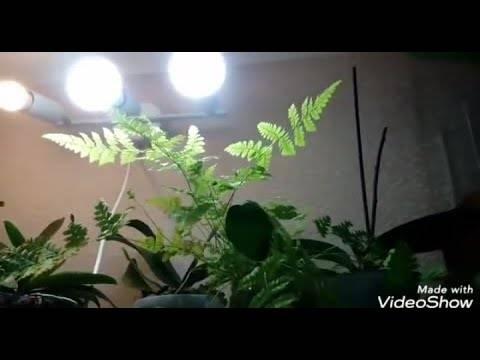 Папоротник комнатный: описание, особенности выращивания и ухода