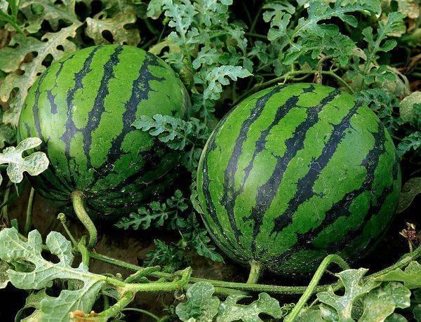 Чем подкормить арбузы для роста плодов и плетей: дрожжи, зола, травяной настой для подкормки