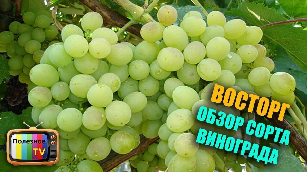 Виноград «русский ранний» - описание сорта, отзывы, посадка и уход