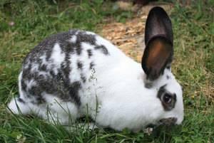Породы кроликов: мясные и декоративные для домашнего разведения