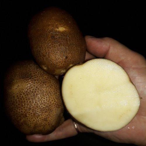 ᐉ сорт картофеля «киви» – описание и фото - roza-zanoza.ru