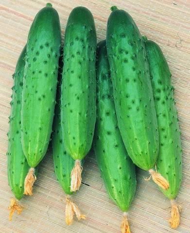 Огурец - зозуля: характеристика и описание сорта, фото, отзывы, выращивание в теплице