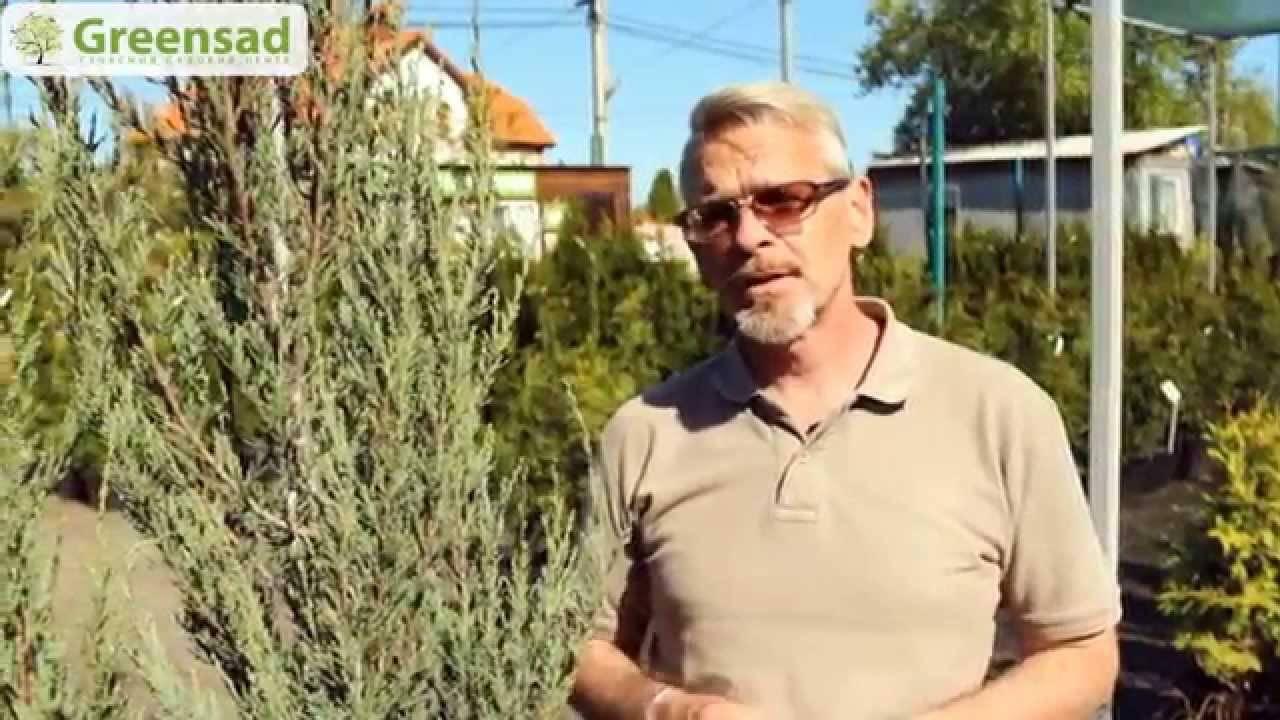 Выращивание можжевельника из семян в домашних условиях