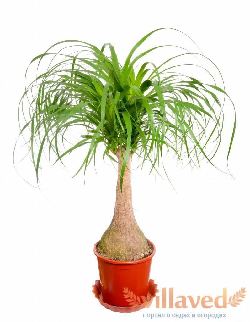 Пальма нолина: уход в домашних услових. советы для начинающих