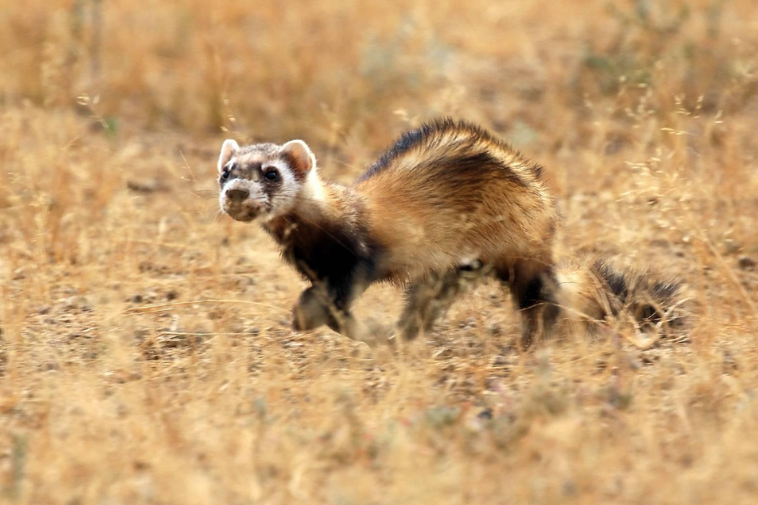 Хорек - 86 фото самого забавного млекопитающего хищника в мире