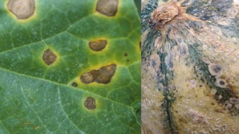 Опасные болезни арбузов: фото и методы лечения