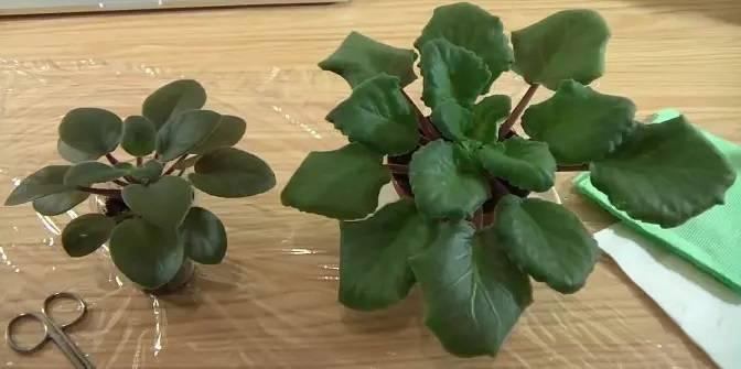 Что делать и почему у фиалки закручиваются листья во внутрь – дачные дела