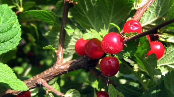 Обзор болезней вишни и методов их лечения