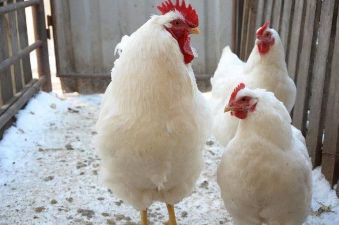 Куры породы плимутрок: обзор птиц