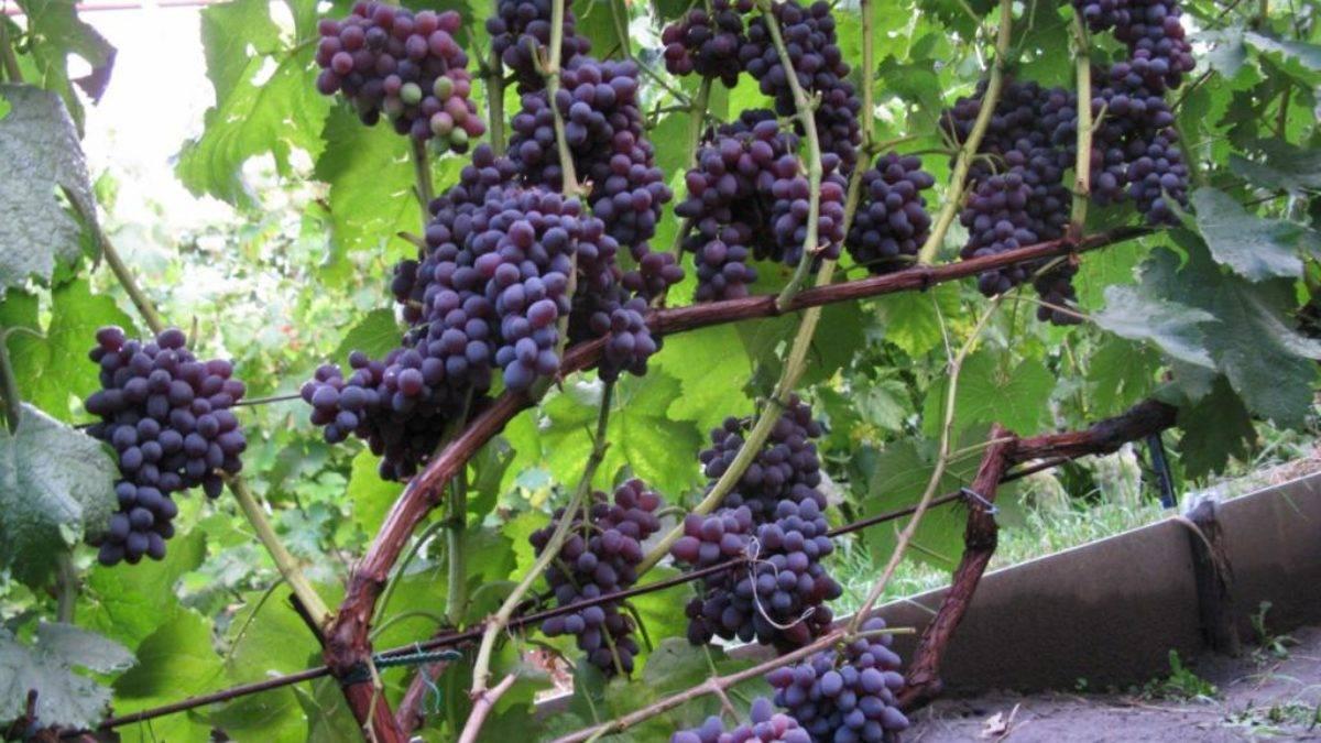 Кишмиш черный азос — виноград