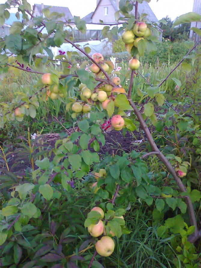 Характеристика яблони приземленная