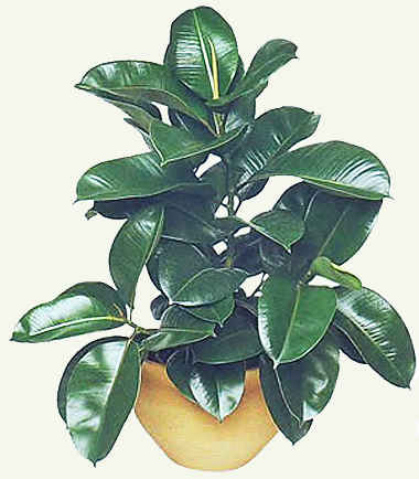 Фикус - уход в домашних условиях, полезные рекомендации для правильного выращивания
