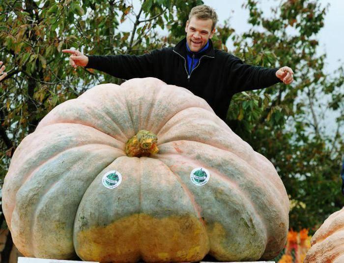 Можно ли вырастить гигантскую тыкву на своём участке? мировой рекорд веса и советы фермеров