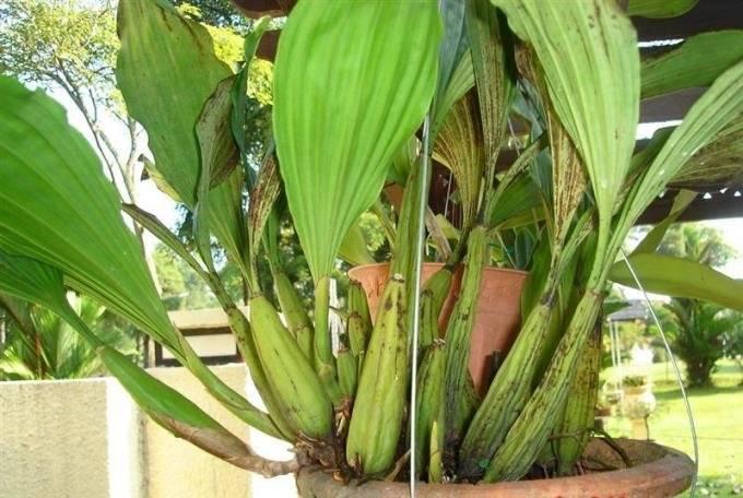 Можно ли и как выращивать орхидеи из корней?