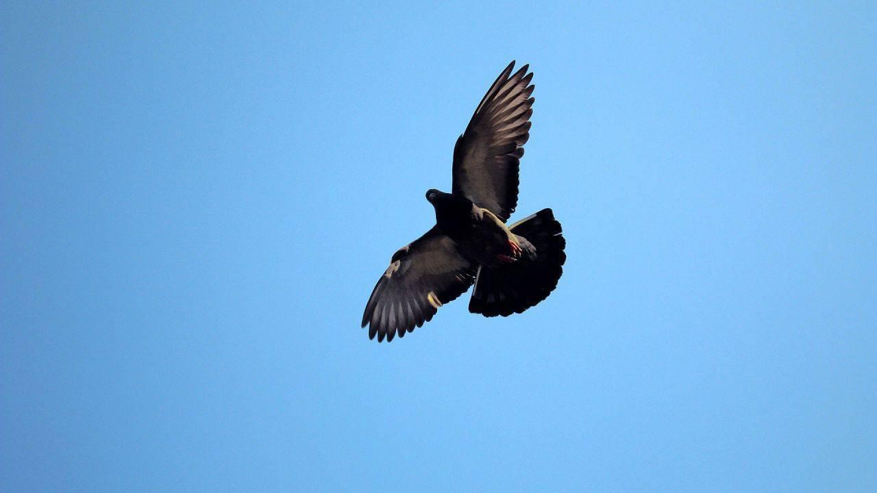 Как и чем поймать голубя