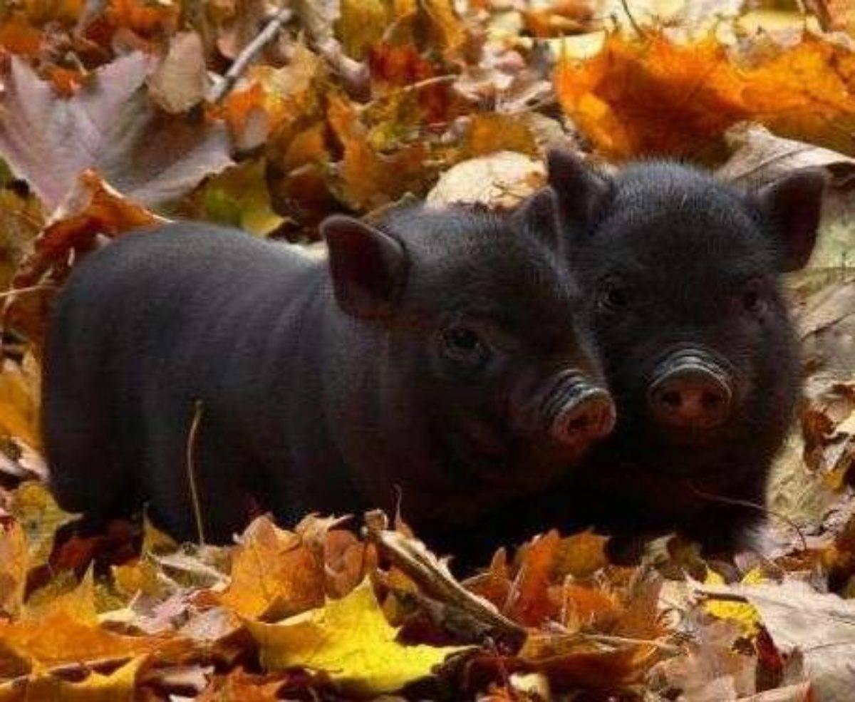 Читать книгу выращивание свиней в домашних условиях. уход и откорм николая демидова : онлайн чтение - страница 2