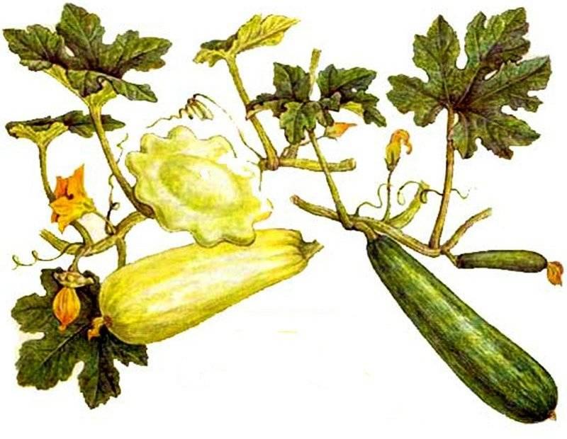 Когда сажать кабачки на рассаду в 2020 году по лунному календарю: таблица благоприятных дней для посадки семенами в грунт в марте, апреле и мае