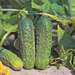 Маринда f1 огурец: описание, выращивание, уход, фото