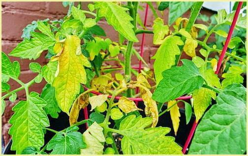 Что предпринять, если у рассады помидоров сохнут листья: полезные советы и эффективные меры