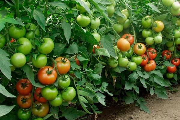 Томат тарпан f1 — описание сорта, отзывы, урожайность