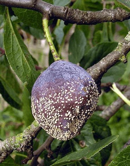 Характеристика сливы сорта анна шпет