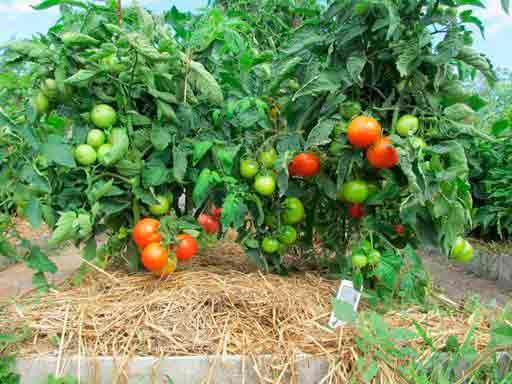 Подкормка томатов золой: рецепты приготовления и правила использования