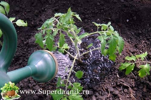 Как поливают помидоры после посадки | вырасти сад!