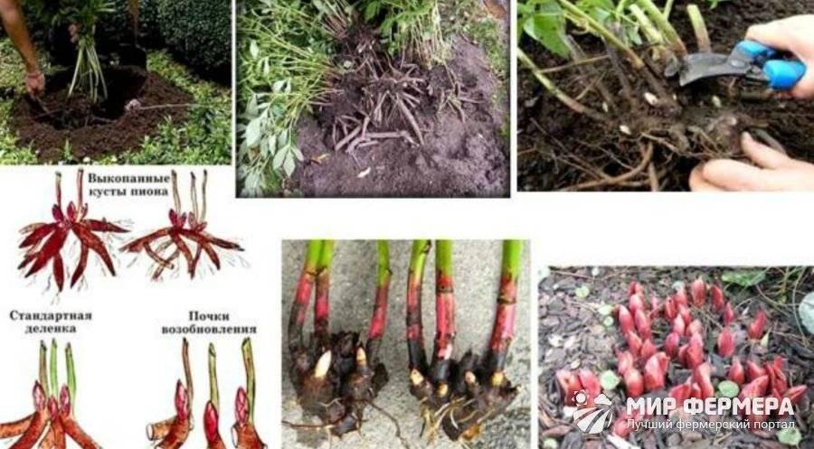 Пионы выращивание и уход, размножение, пересадка