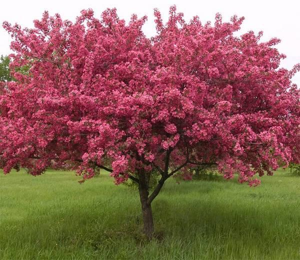 Сорта декоративных яблонь: виды с розовыми цветами, с красными листьями и цветами, со съедобными плодами, их фото и применение в ландшафтном дизайне, а также что такое японская яблоня
