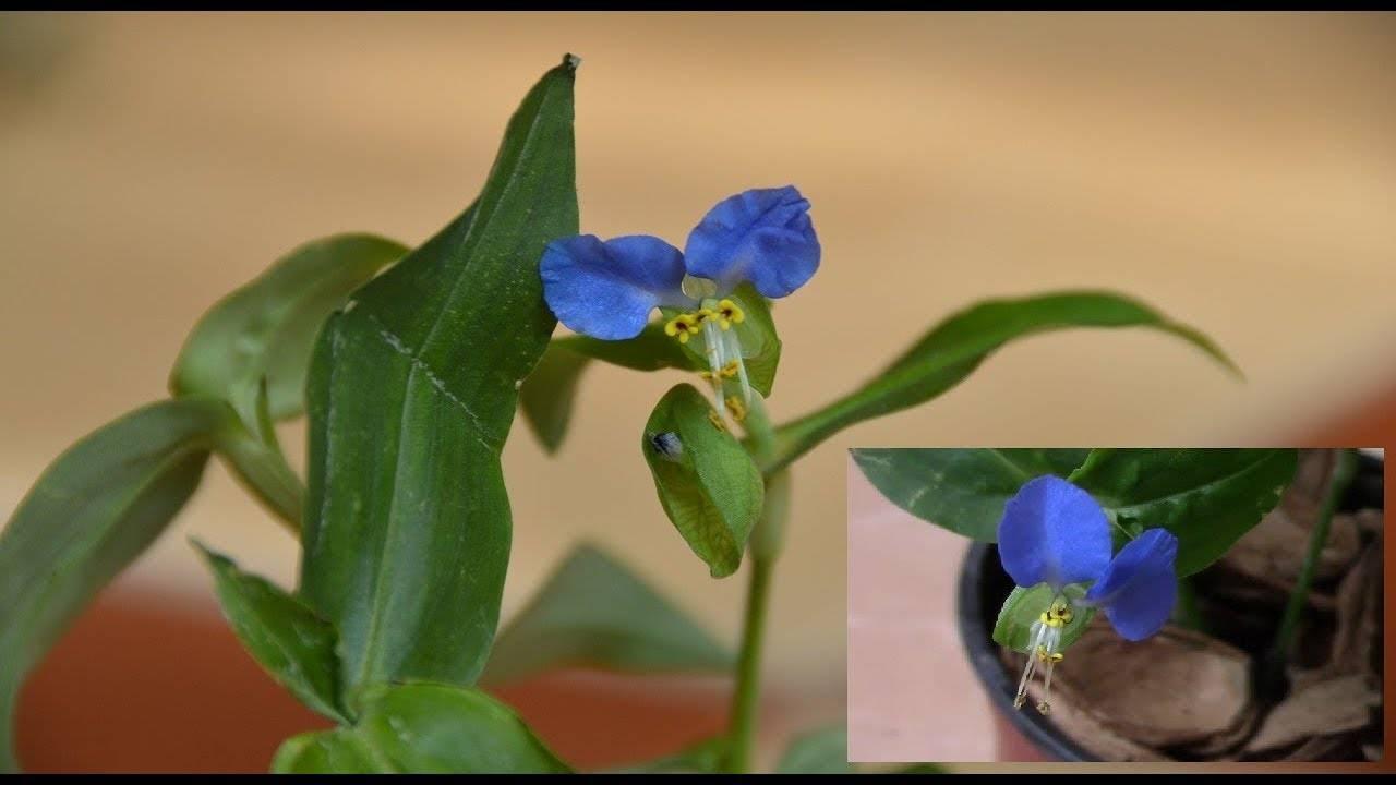 Традесканция садовая: посадка и уход, фото, зимовка, болезни и размножение