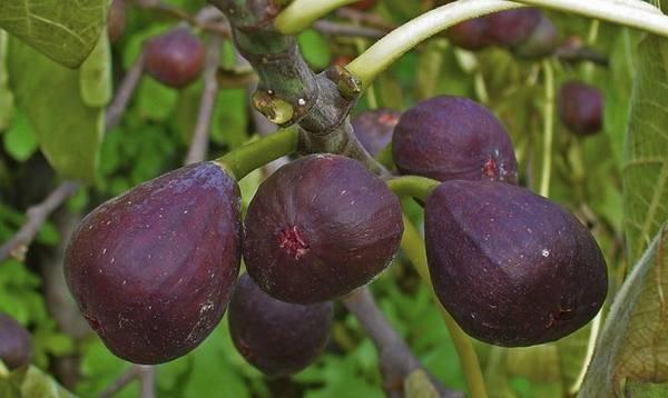Обрезка инжира весной: в крыму и других регионах, советы специалистов
