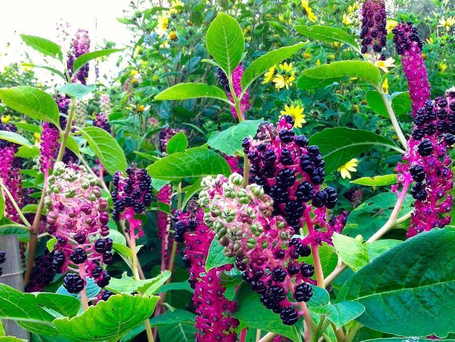 Посадка растения Лаконос в открытом грунте: уход за культурой