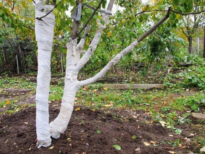 Уход за яблоней осенью, подготовка дерева к зиме